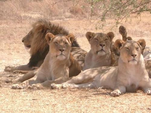 カラハリのライオン